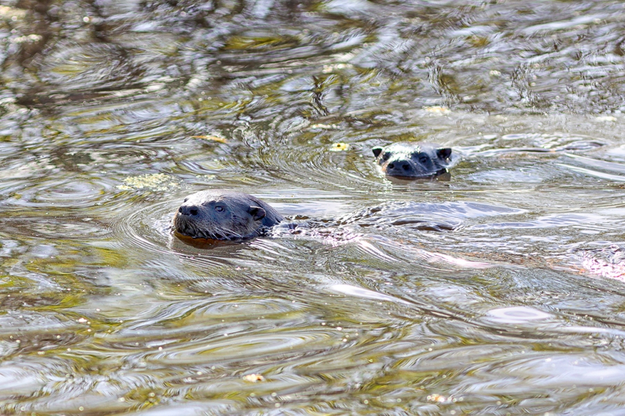 River_Otters_v1_R_076A2075