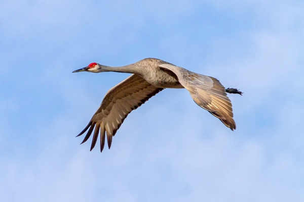 Sandhill_Crane_Flight_v3_7D_300mm_LW_MG_0120