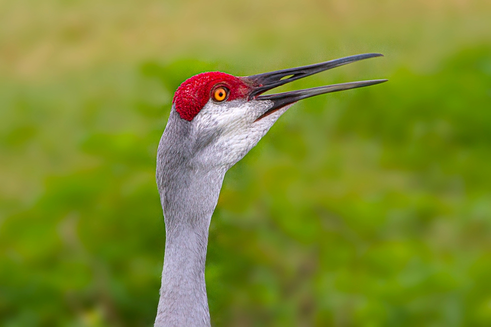 Sandhill_Crane_Portrait_v2_7D_300mm_MG_8234-Recovered