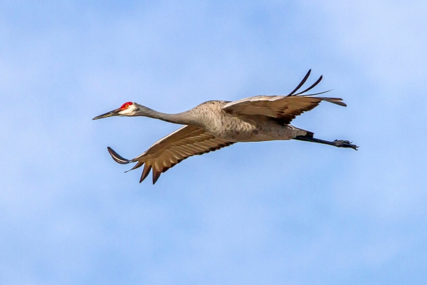 Sandhill_Crane_v2_LW_7D_300mm_MG_0127