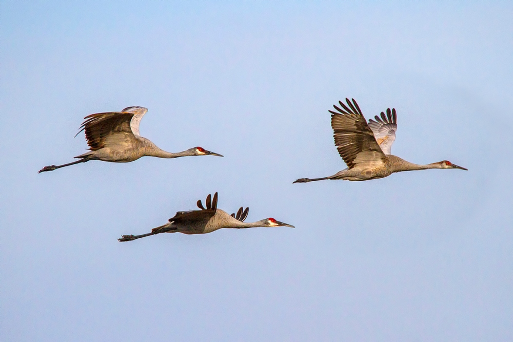 Sandhill_Cranes_flight_v1_MG_9542