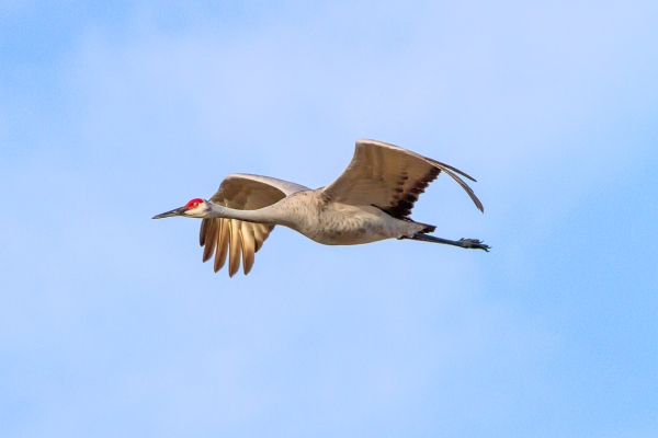 Sandhill_Cranes_v2_7D_300mm_MG_0123