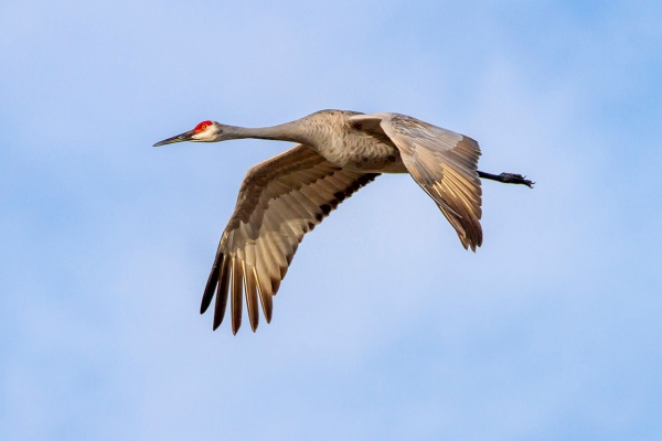 Sandhill_Cranes_v2_7D_300mm_MG_0125