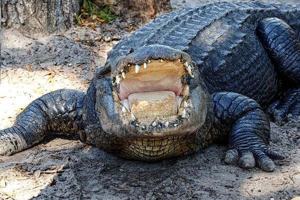 Alligator v1 SA_76A1310