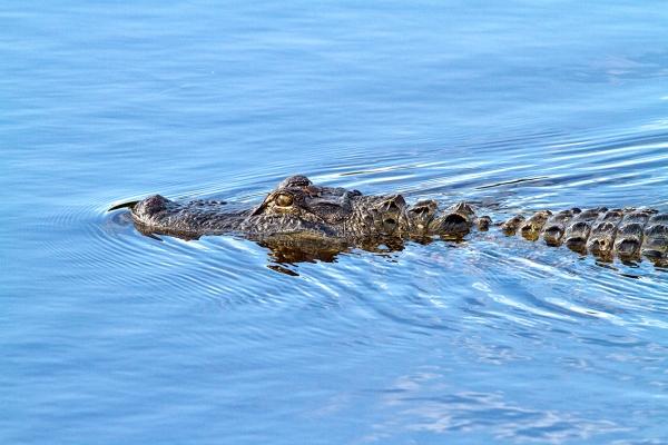 American_Alligator_v1_DD_MG_6350
