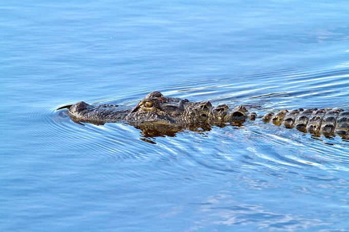 American_Alligator_v1_DD_MG_6350