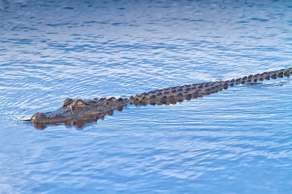 American_Alligator_v3_MG_6318