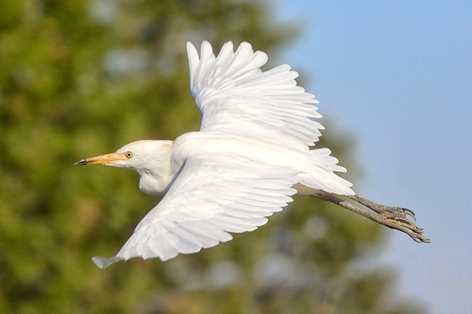 Cattle_Egret_v1_Brig_400mm_JY9F2028