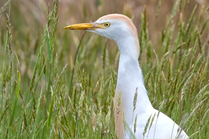 Cattle_Egret_v1_brig_400mmDO_2X_MG_2551