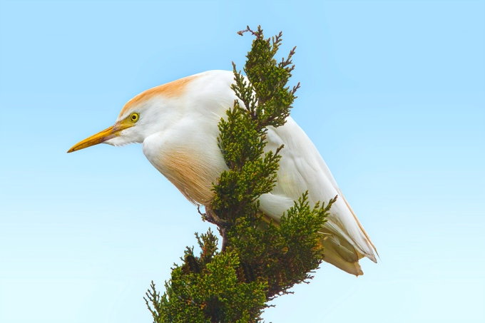 Cattle_Egret_v8_Brig_400mmDO_2X_1Dmk2_MG_2353-2