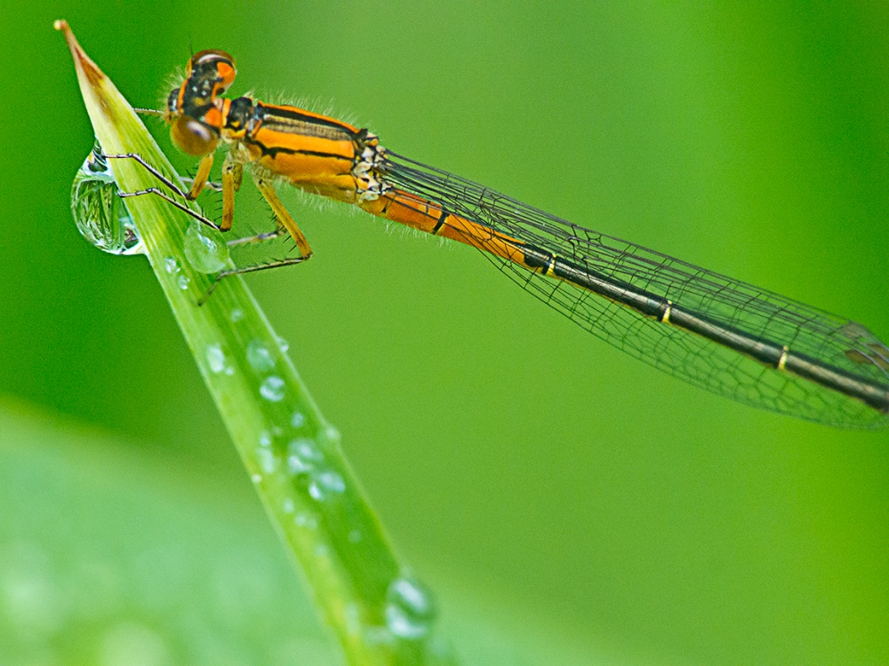 Damselfly_v1_200mm_m43_1600iso_1200525
