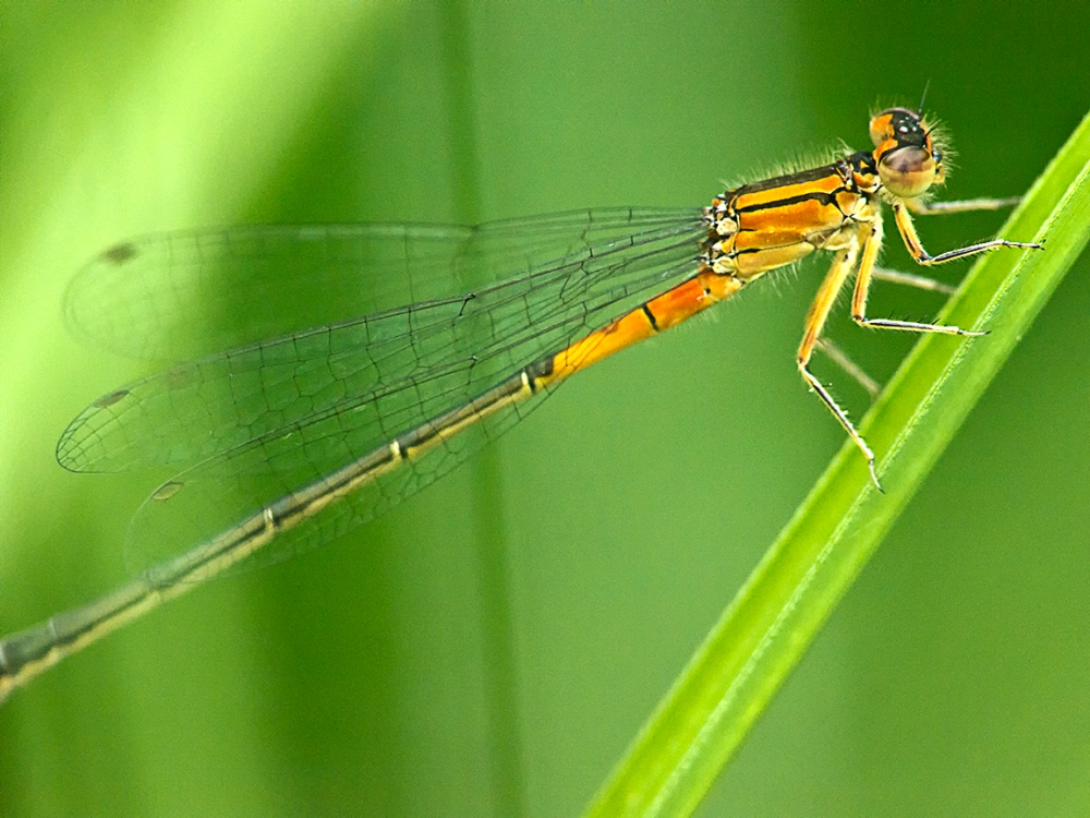 Damselfly_v2_200mm_m43_1200814