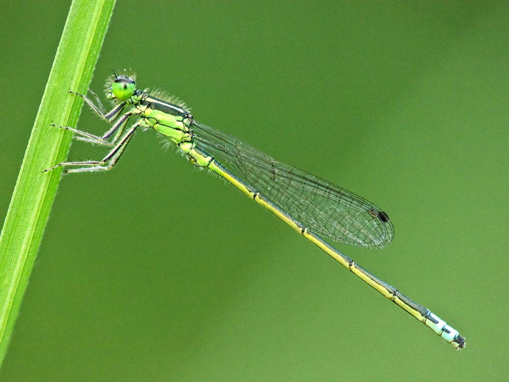 Damselfly_v2_200mm_m43_1600_ISO_1200727