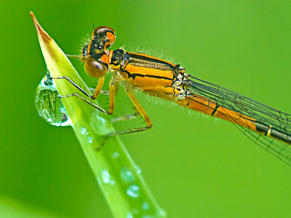 Damselfly_v3 Dfine_FD200mm _1200532