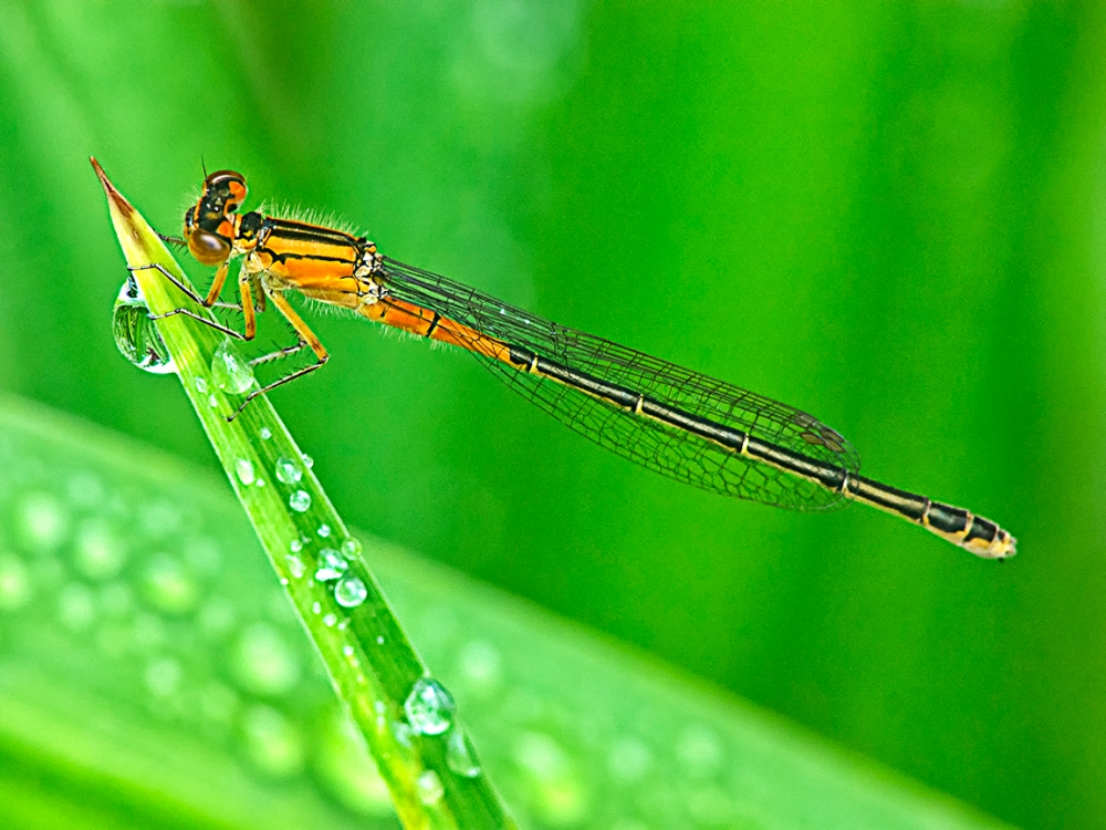 Damselfly_v3_200mm_m43_HP schrp_1200428 copy