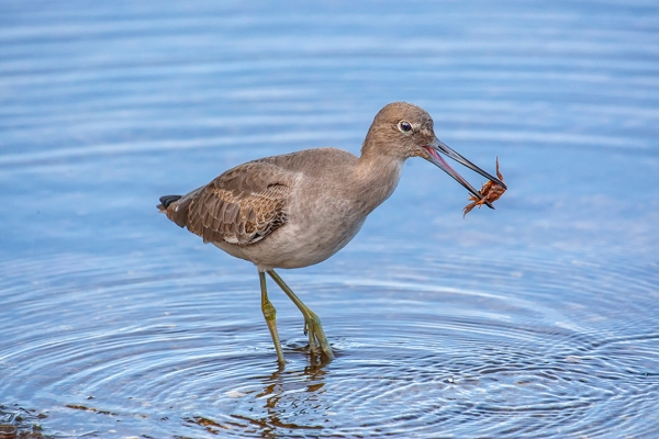 Eye2Eye_Willet_800mm_1DmkIII_80I9613-2