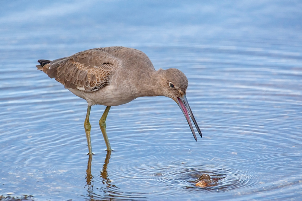 Eye2Eye_Willet_oops_800mm_3-8_1DmkIII_DD_80I9616