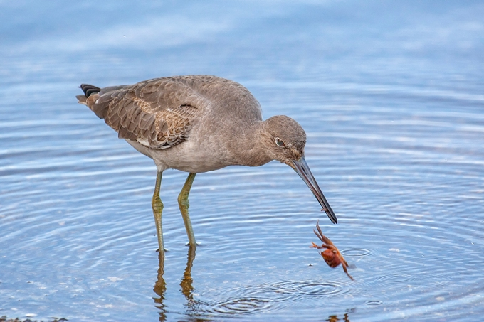 Eye2Eye_Willet_v1_oops_800mm_3-8_1DmkIII_80I9615-2