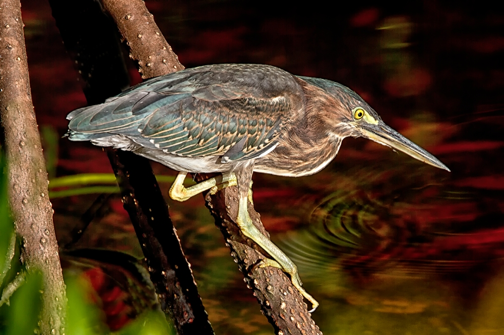 Green_Heron_foraging_DD_v2_400mm_DO_1_4X_7D_MG_3928