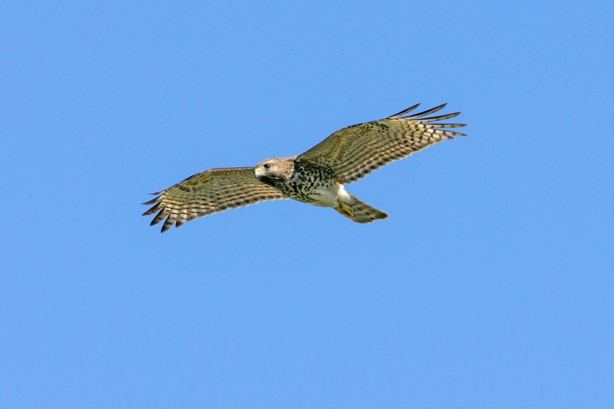 hawk_v1_lw_1-4mm_1_4X__Y9F7860