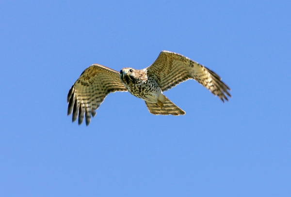 Hawk_v1_lw_1-4mm_1_4X__Y9F7863