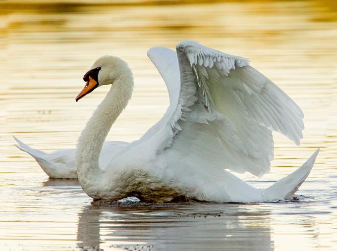 Mute_Swan_v1 v4