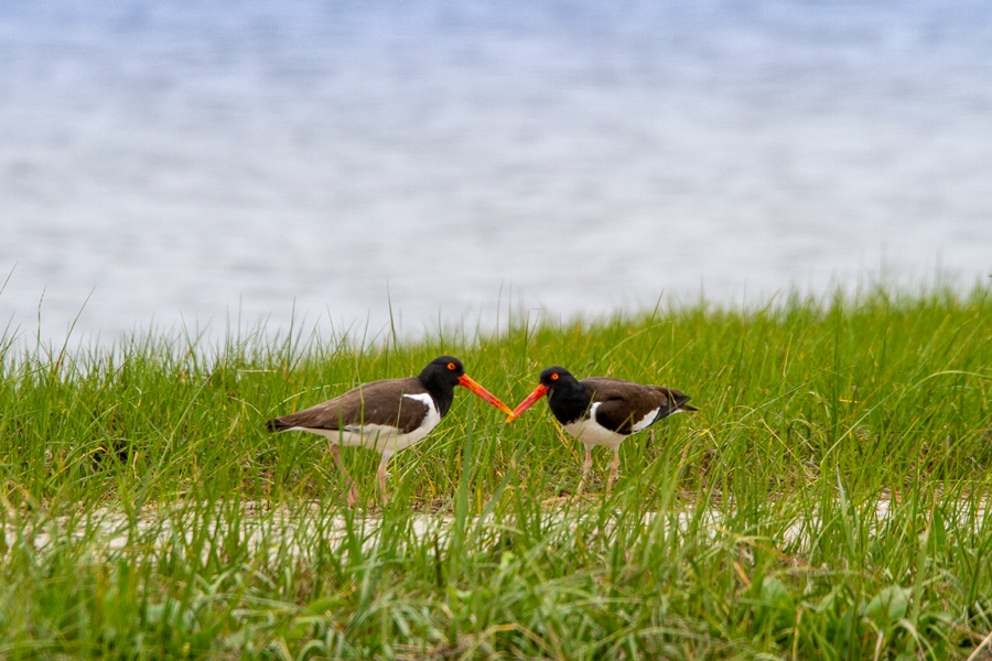OysterCatchers_v2_DD_400mm_7D_MG_3391-2