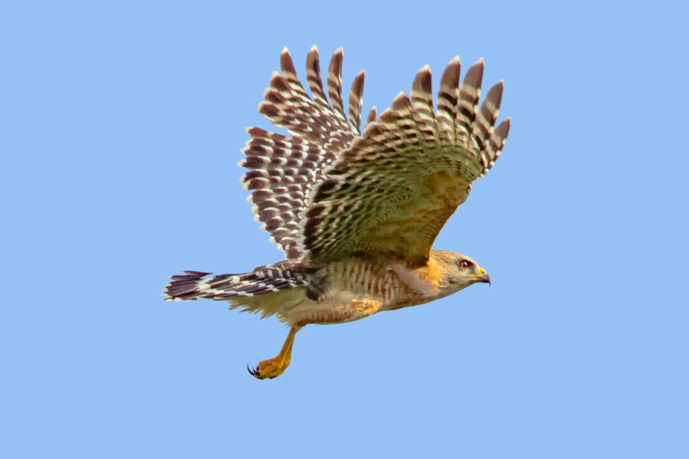 Red-shouldered_hawk_v1_dd_400mm_1_4x_7D_MG_6147