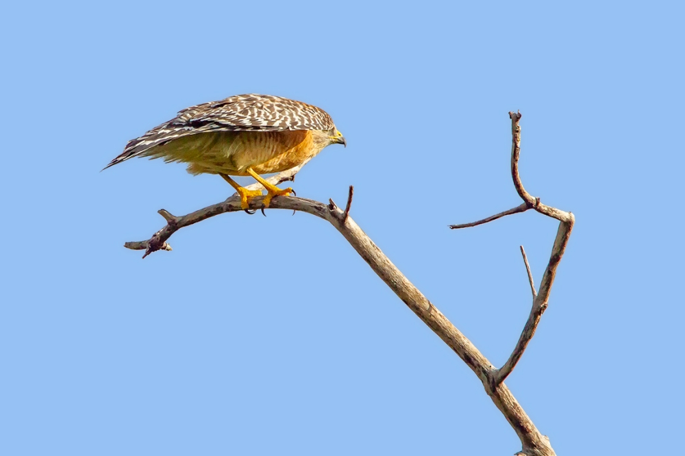 Red-Shouldered_hawk_v2_dd_400mm_1_4x_7D__MG_6141