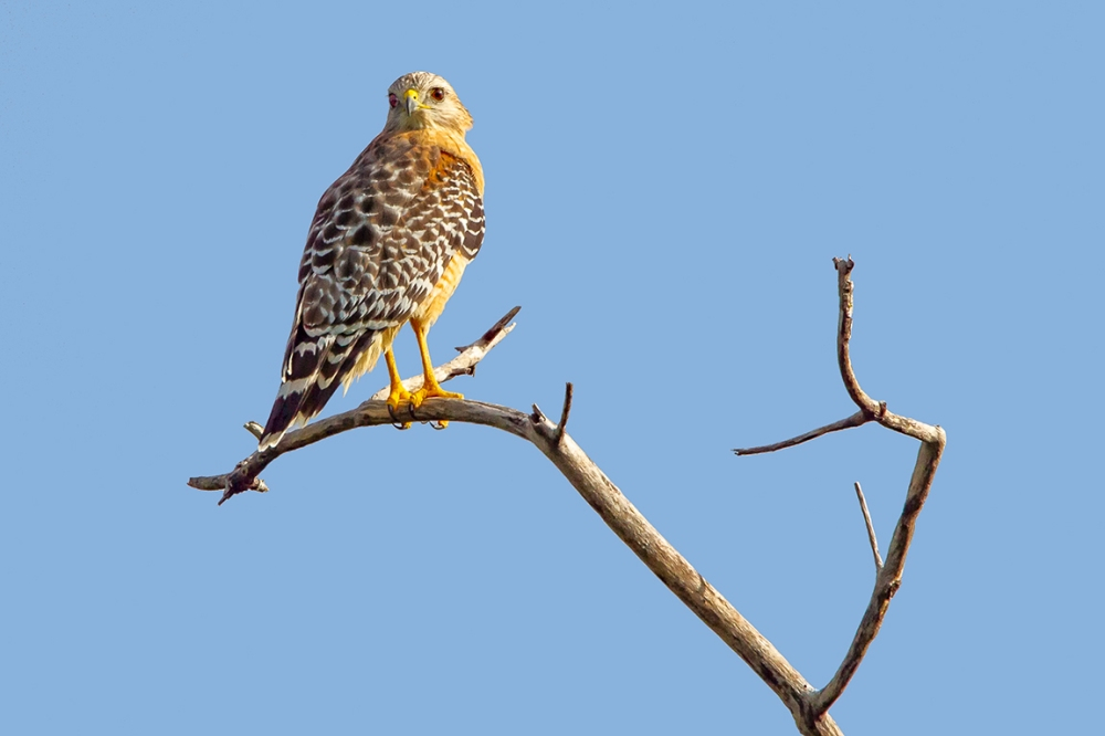 Red-Shouldered_hawk_v2_dd_400mm_1_4x_7D_MG_6128