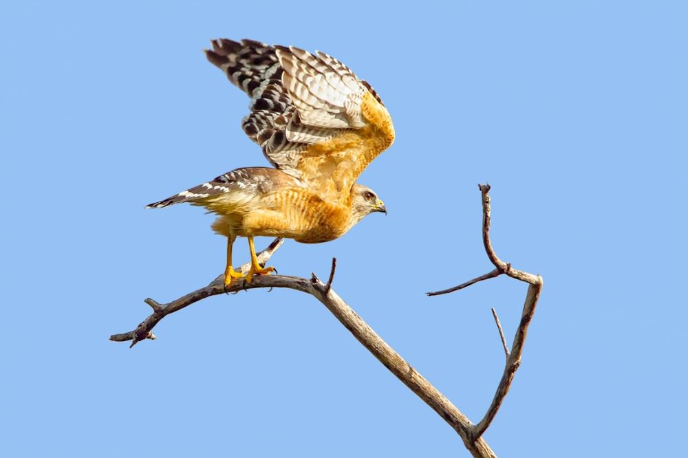 Red-Shouldered_hawk_v2_dd_400mm_1_4x_7D_MG_6142