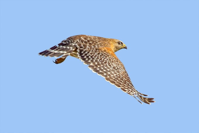 Red-Shouldered_hawk_v2_dd_400mm_1_4x_7D_MG_6146