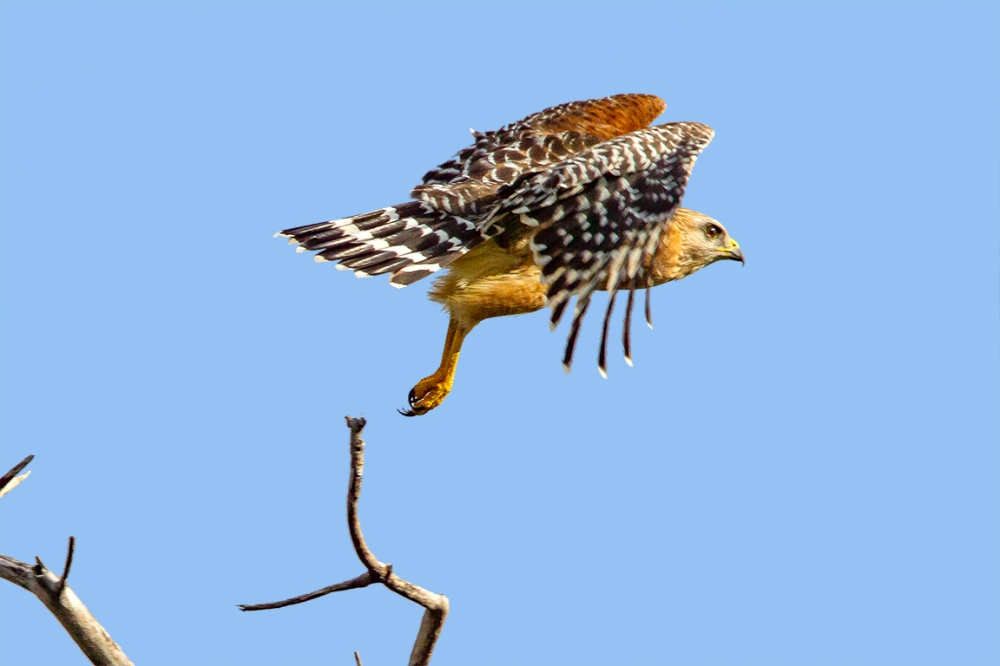 Red-Shouldered_hawk_v3_dd_400mm_1_4x_7D_MG_6145