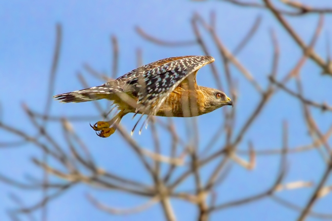 Red-shouldered_hawk_v6_400mm_1_4X_7D_MG_6148