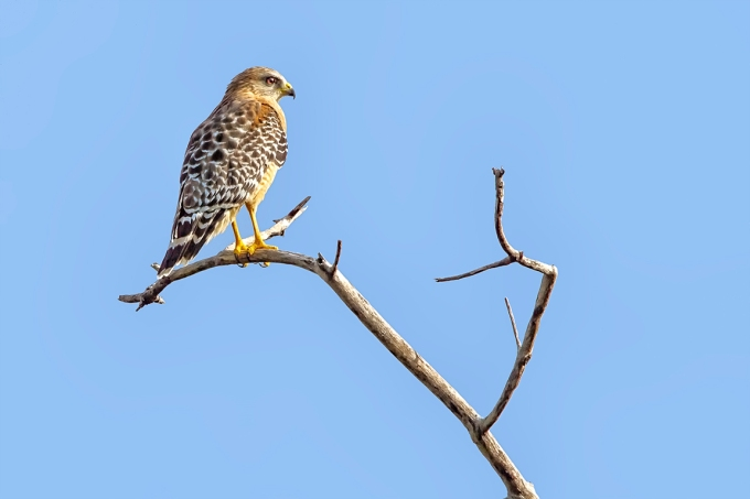 red_shouldered_hawk_v2DD_400mm_1_4X_7D_MG_6130