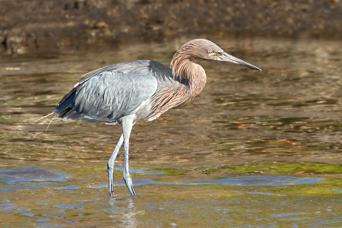 Reddish_Egret_DD_400mm_v2_1_4x_7D