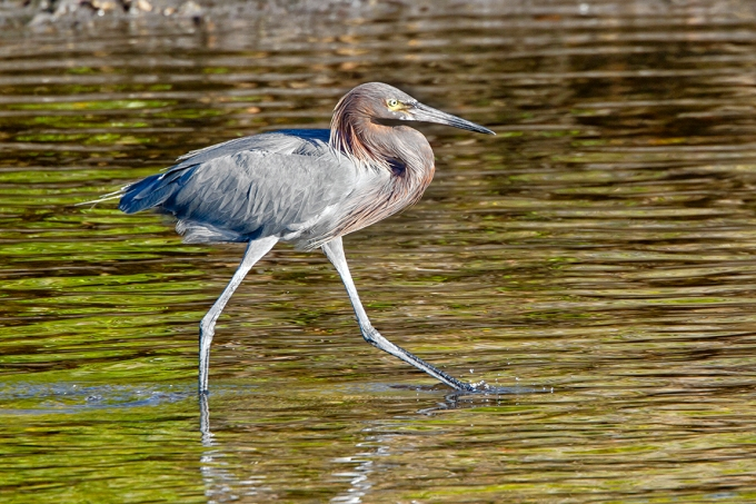 Reddish_Egret_v1_DD_400mm_1_4X_7D_MG_4037
