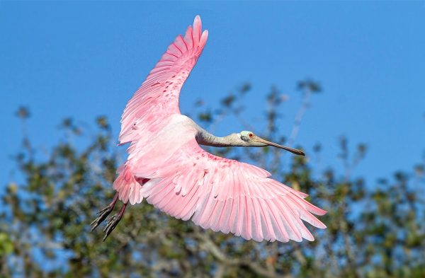Roseate_spoonbill_flight_v2_SA_AF_400mm_MG_9825