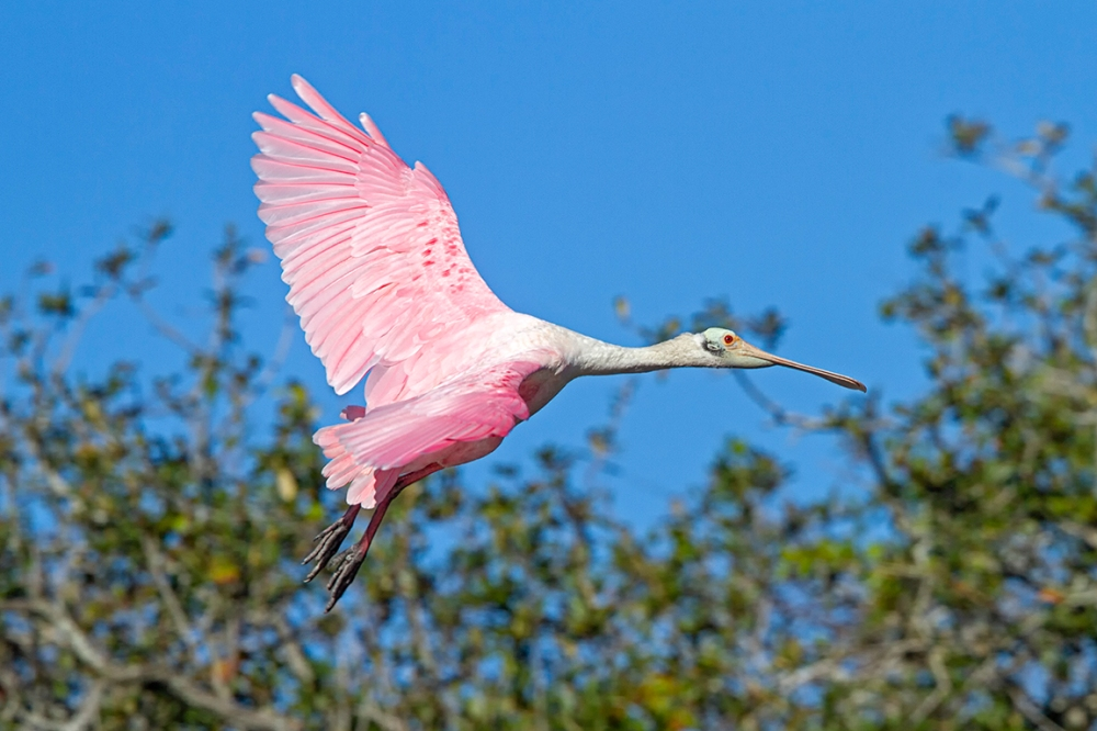 Roseate_Spoonbill_Flight_v2_SA_AF_400mm_MG_9826