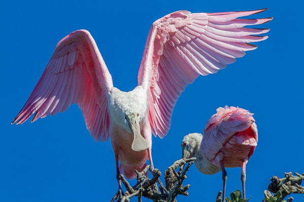 Roseate_Spoonbill_v1_SA_AF_400mm_MG_0196