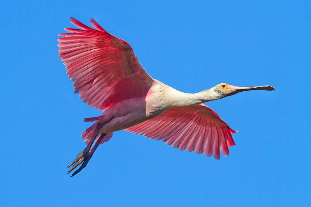 Roseate_Spoonbill_v2_flight_MG_9776