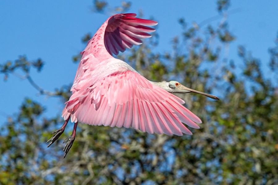 Roseate_Spoonbill_v3_SA_AF_400mm_MG_9827