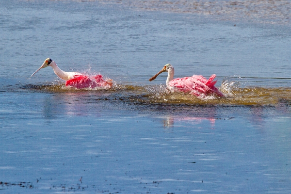 Spoonbills_Splashing-v2_800mm_1D_mkIII_dd