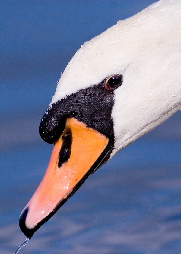 Swan cover_print