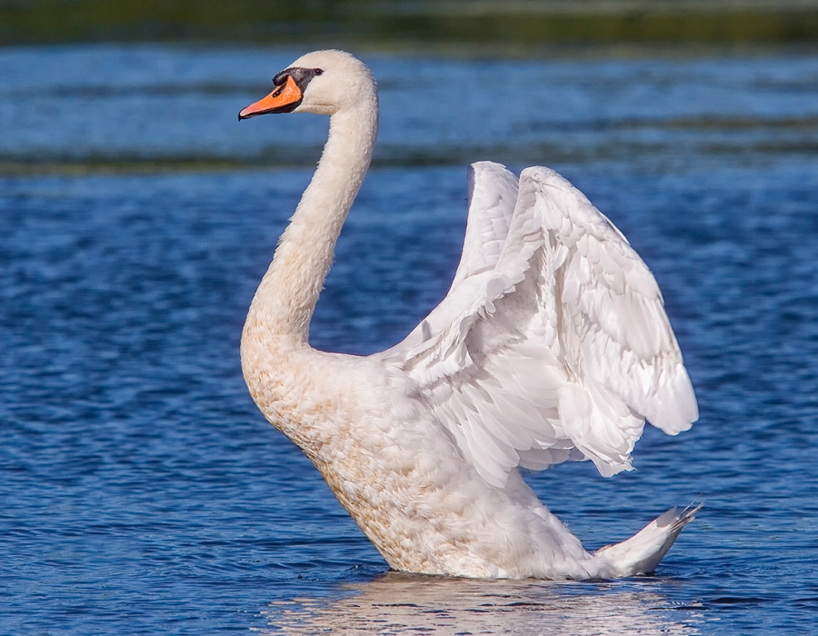 Swan Flapping_Wings v3