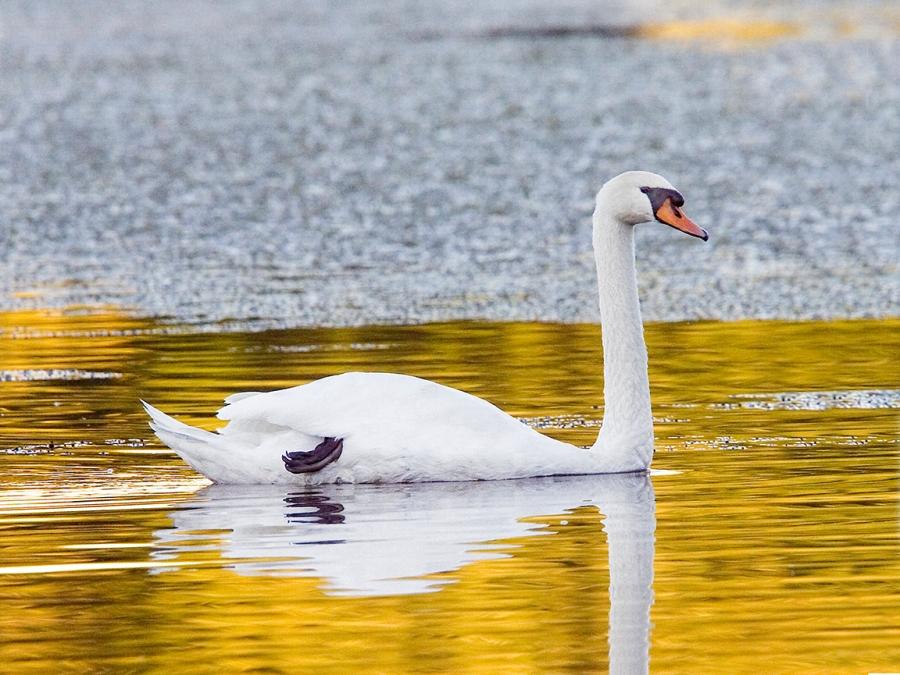 Swan no11 v3