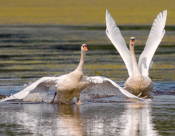 Swan_touchDown_v2_alt