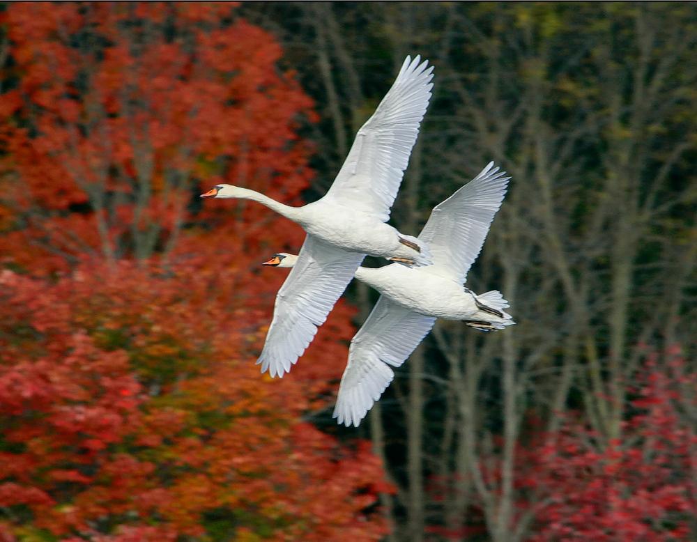 Swans fall_Flt_ v3