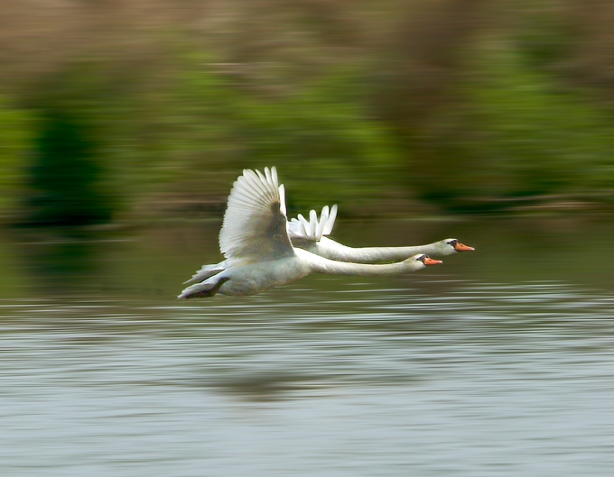 Swans_Flit_Blur_v1