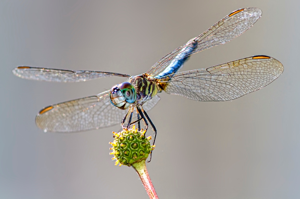 Blue DASHER_v2_DF_300MM_1_4X_MG_2329